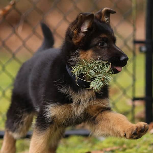 Available German Shephered Puppies